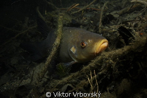 Tench (Tinca tinca) by Viktor Vrbovsk&#253; 